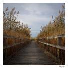 Walkway through reeds